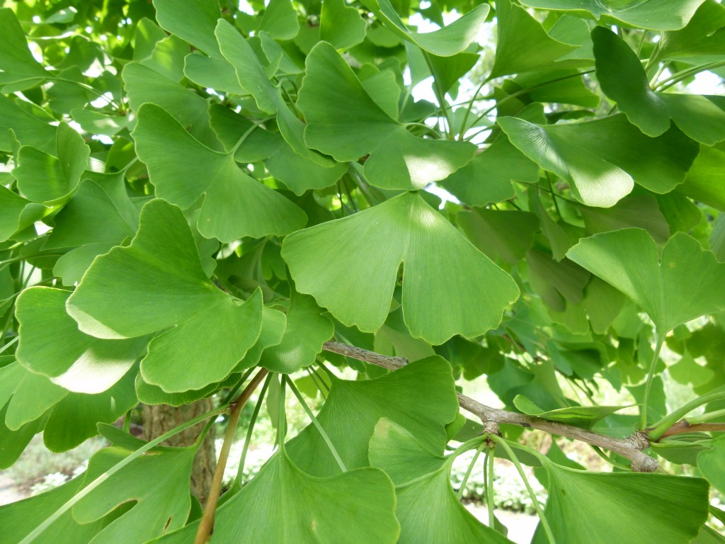 an overview of the effects of the ginkgo biloba plant