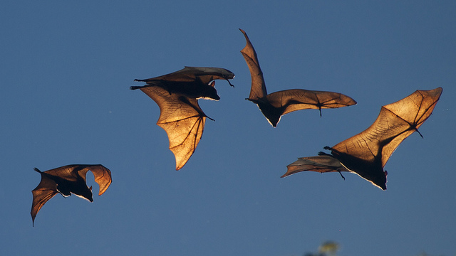 Fruit Bat [Photo: shellac/Flickr.com]